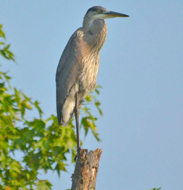 Great Blue Heron 2019-105