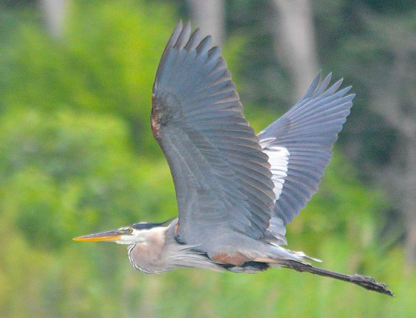 Great Blue Heron 2019-19