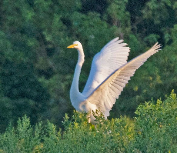 Great Egret 2019-10