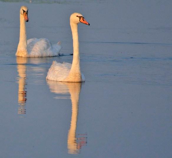 Mute Swan 2019-4