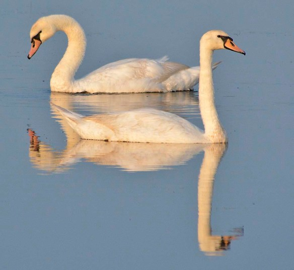 Mute Swan 2019-6