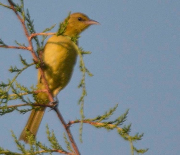 Orchard Oriole 2019-13