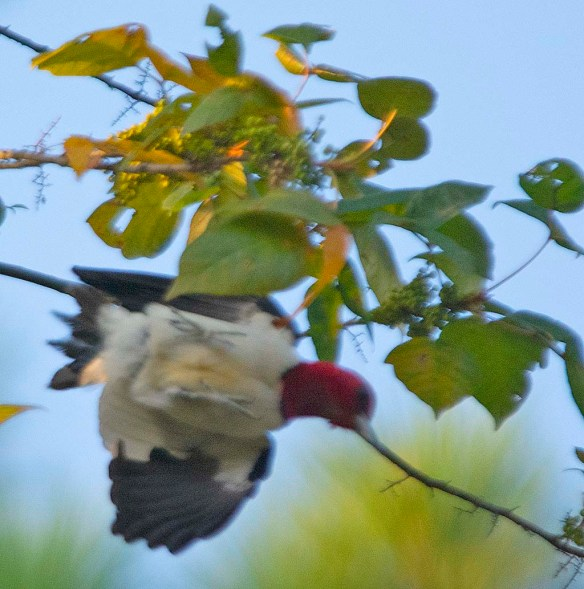 Red Headed Woodpecker 2019-22
