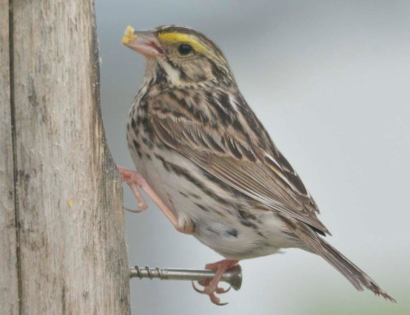 Savannah Sparrow 2019-1