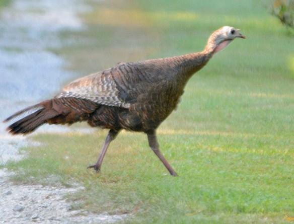 Wild Turkey 2019-21