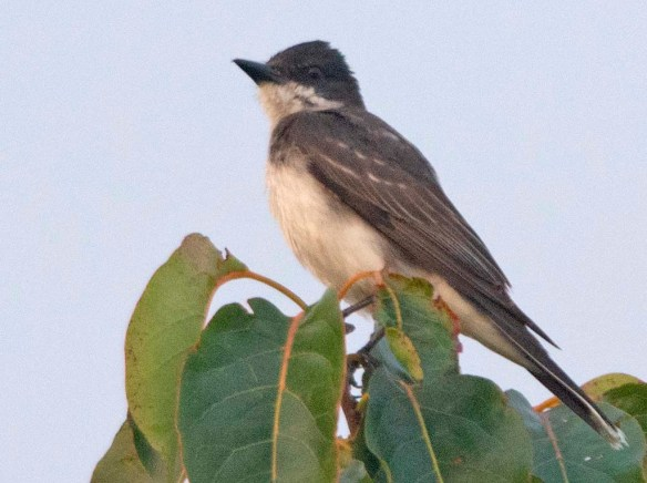 Eastern Kingbird 2019-10