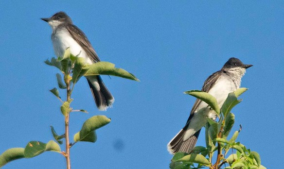 Eastern Kingbird 2019-7