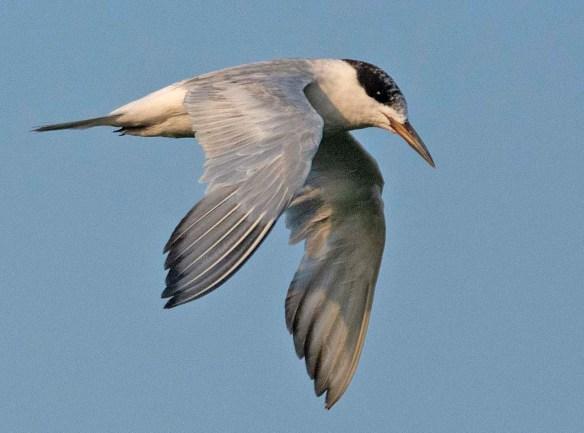 Forster's Tern 2019-19