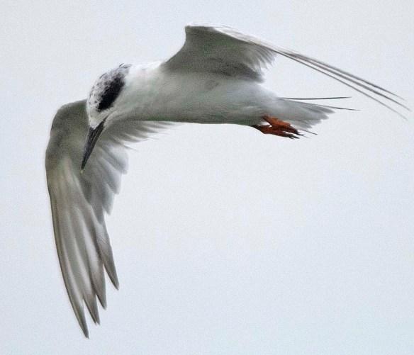 Forster's Tern 2019-33