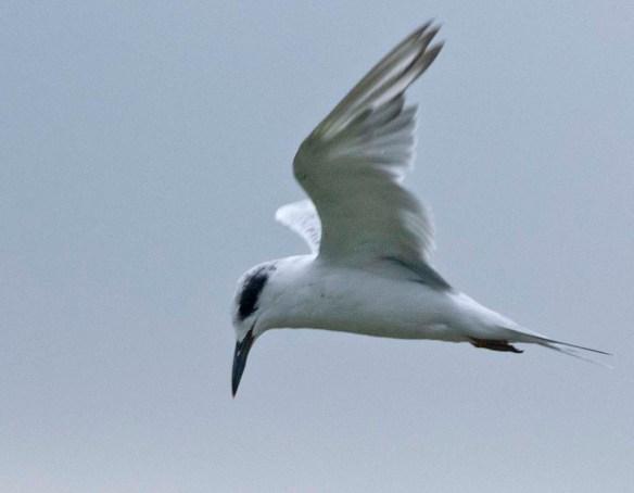 Forster's Tern 2019-37