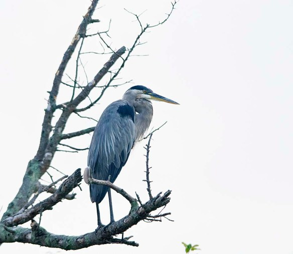 Great Blue Heron 2019-108