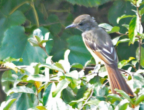 Great Crested Flycatcher 2019-109
