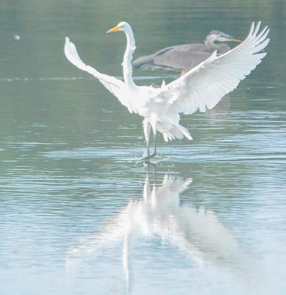 Great Egret 2019-127