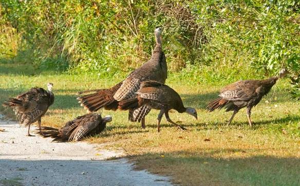 Wild Turkey 2019-37