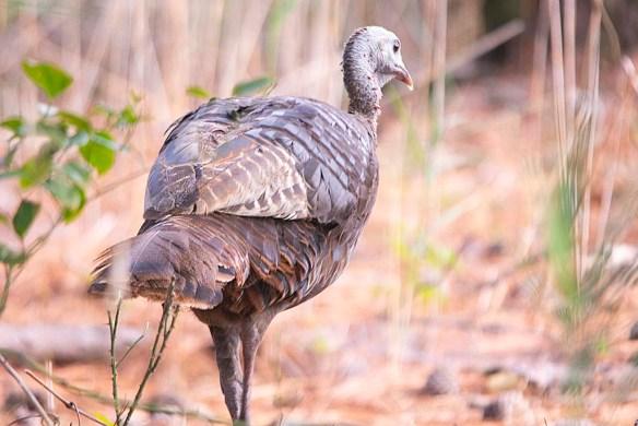 Wild Turkey 2019-58
