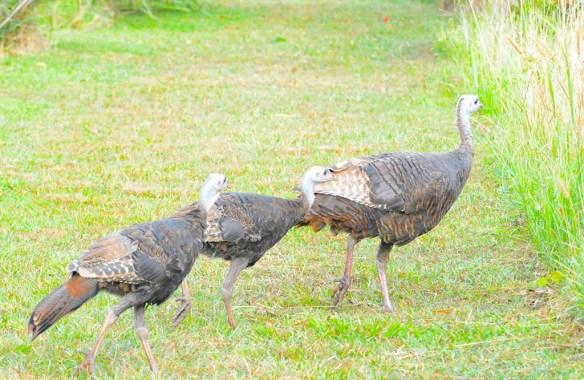 Wild Turkey 2019-63