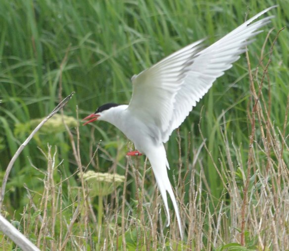 Arctic Tern 2019-15