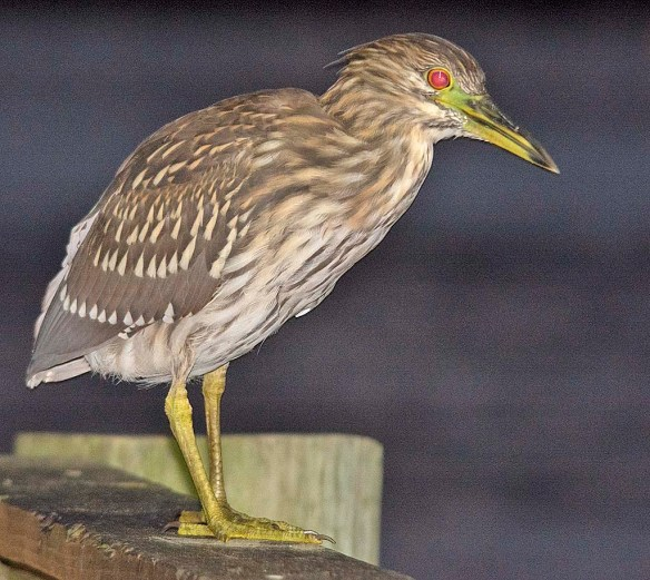 Black Crowned Night Heron 2019-17