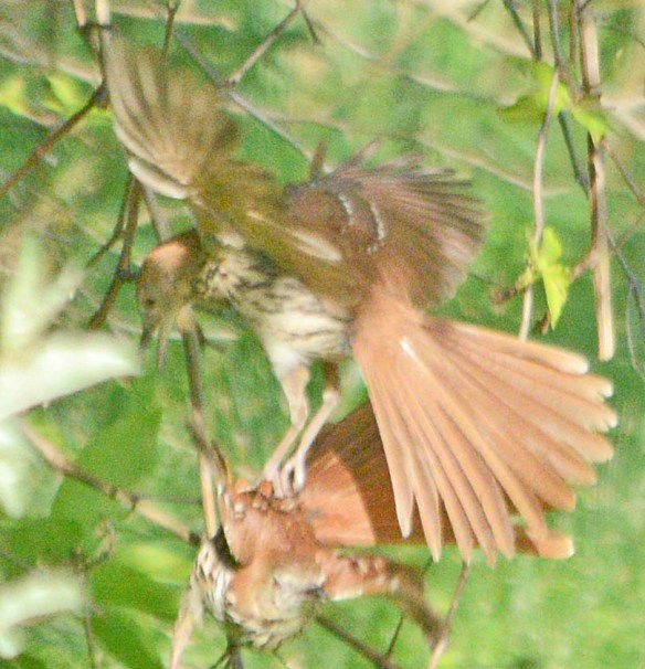 Brown Thrasher 2019-32