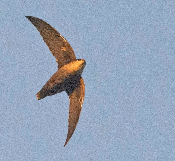 Chimney Swift 2019-1