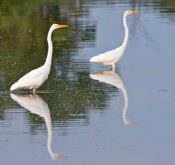 Great Egret 2019-149