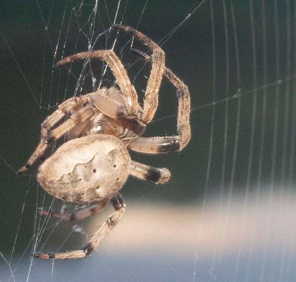 Spider 288