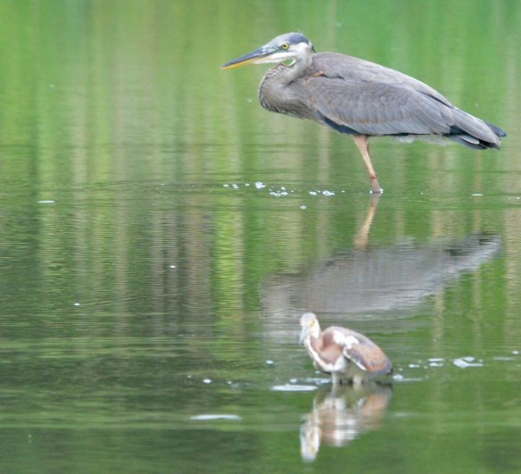 Tricolored Heron 2019-28