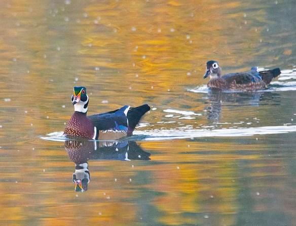 Wood Duck 2019-26