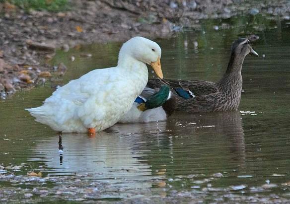 Domestic Goose 2019-5