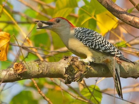 Red Bellied Woodpecker 2019-2