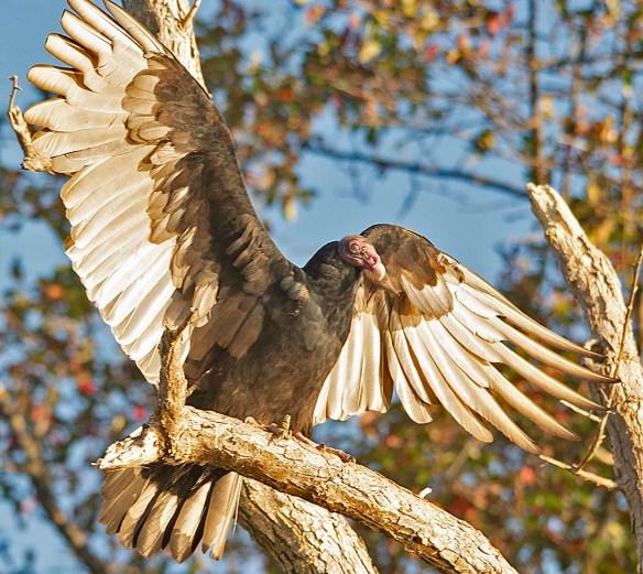Turkey Vulture 2019-2