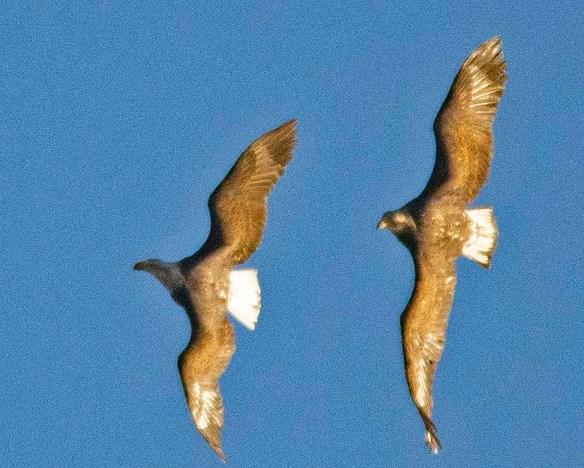 Bald Eagle 2019-22