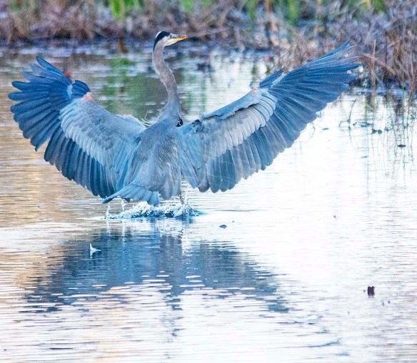 Great Blue Heron 2019-59