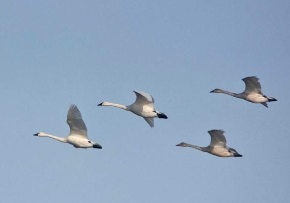 Tundra Swan 2019-35