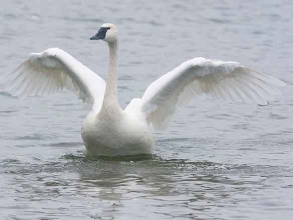 Tundra Swan 2019-42