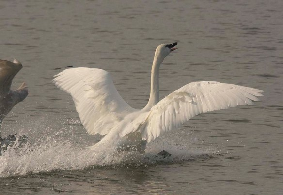 Tundra Swan 2019-47