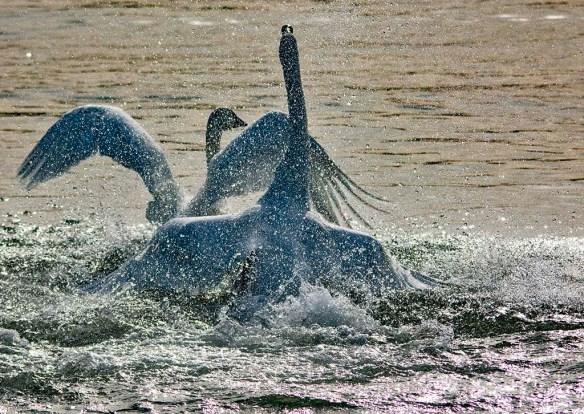 Tundra Swan 2019-51