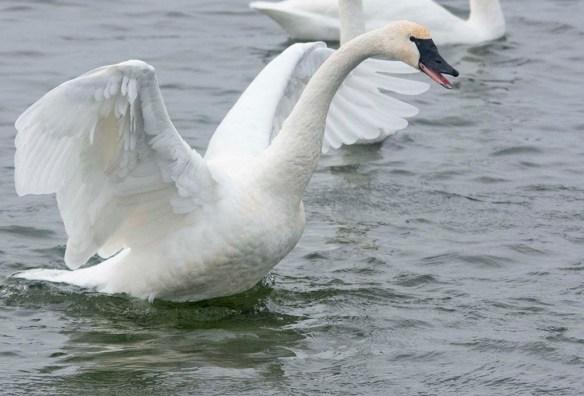 Tundra Swan 2019-74