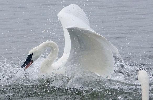 Tundra Swan 2019-75