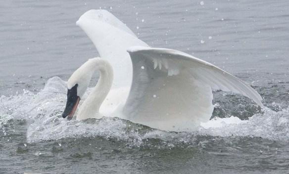 Tundra Swan 2019-76