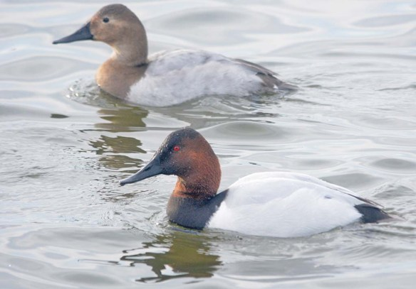 Canvasback 2019-42
