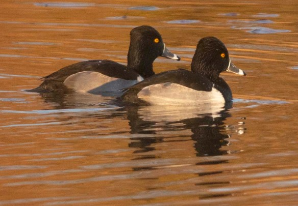 Ring Necked Duck 2019-9