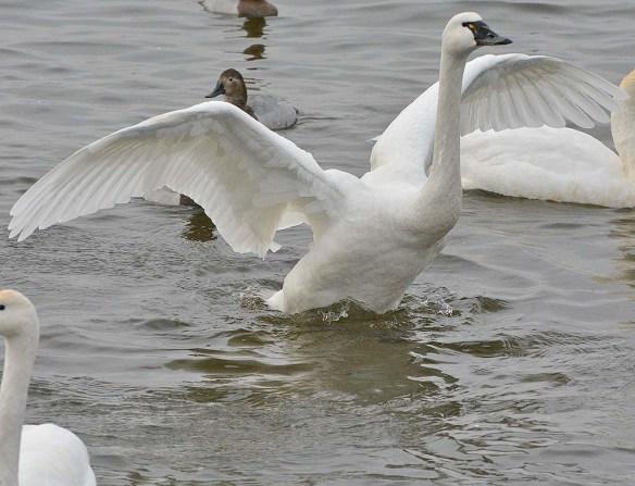 Tundra Swan 2019-113
