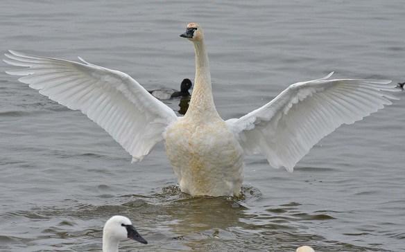 Tundra Swan 2019-114