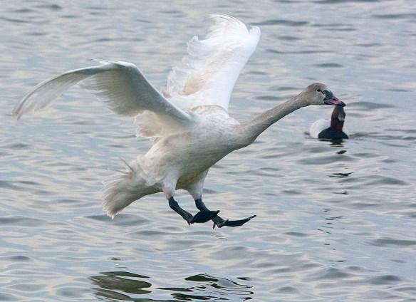 Tundra Swan 2019-121
