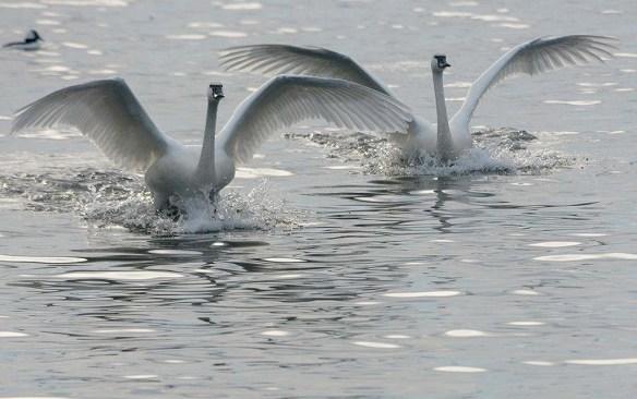 Tundra Swan 2019-128