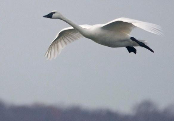 Tundra Swan 2019-82