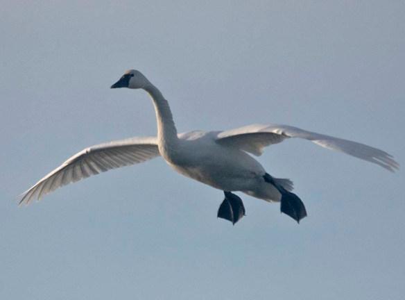 Tundra Swan 2019-87