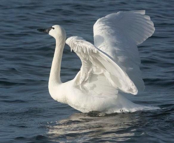 Tundra Swan 2019-88