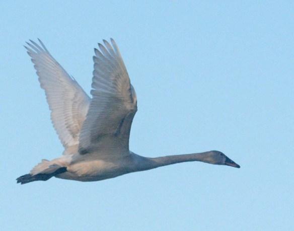 Tundra Swan 2019-93